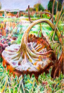 Winter Sunflower coloured pencil on paper